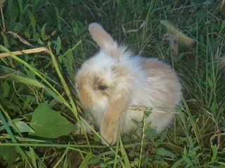 Продаются декоративные вислоухие крольчата