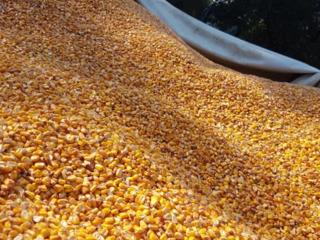 Porumb кукуруза  2018