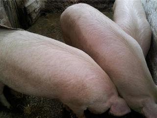 Vind porci de carne  80-120 kg