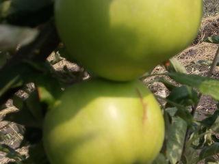 Продам сад 3,5 га яблоня(айдаред,голдан,симиренко)8-й год,0,5га слива      11500евро