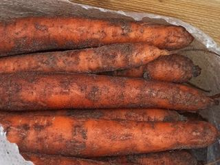 Vind morcov proaspat din frigider. Soiul Maestro;