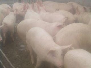 Vind porci de carne