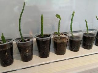 Саженцы кактуса