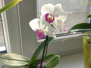 Orhidee pitică