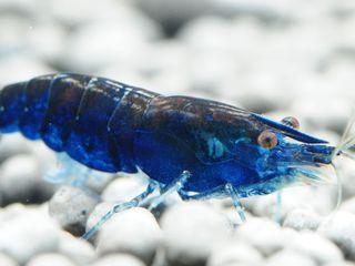 Аквариумные креветки синяя мечта - Blue Dream