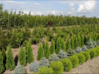 Sortiment bogat. Arbori foioși. Brazi naturali. Plante vesnic verzi