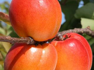 Pomi fructiferi -cais (abrikos )  soiul  Pincot  !