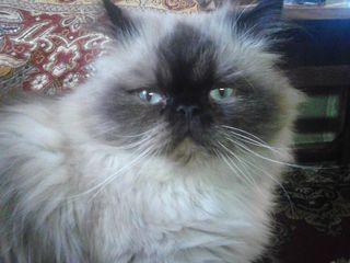 Персидский-колорпоинт приглашает кошечек на вязку.
