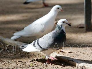Porumbei simpli
