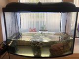 Продам две взрослые красноухие черепахи + аквариум