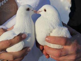 Porumbei albi la nunti