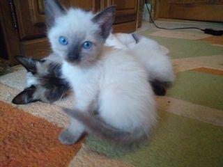 Pisici Siameze