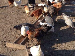 Ingrijitor la ferma de crestere a pasarilor, animalelor.