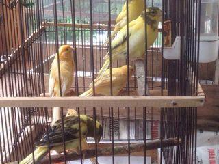 Pasari canari ( de la o pereche ideala! ) Птицы кенары  ( от идеальной пары!)