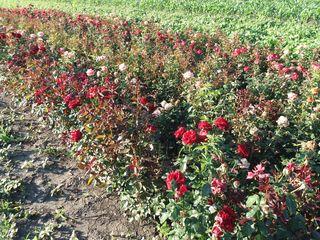 Продам саженцы роз, разные сорта