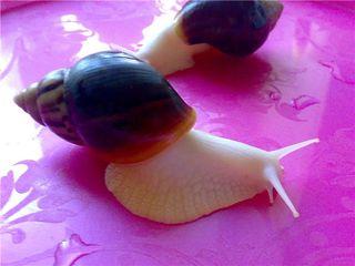 Питомник африканской улитки ,,Ахатина'' snail's house.