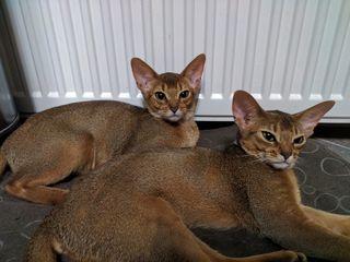 Абисинские котята.