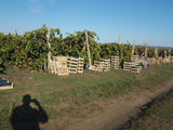 Afacere la cheie. Plantație de viță  de vie Moldova.