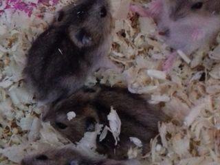 Vind hamsteri 20 lei