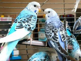 Молодые волнистые попугаи с бесплатной доставкой