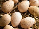 Cumpar ouă de Curcan pentru incubare.
