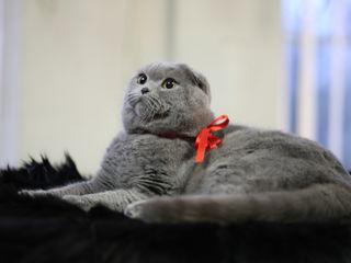Вязка с клубным,племенным,титулованным котом!