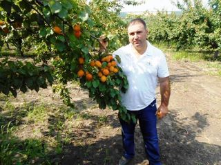 Pomi fructiferi -cais (abrikos ) Pinkot ,Big Red ,Farbali ...