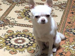 Ищем подружку Чихуахуа, Căutăm prietenă Chihuahua.