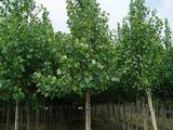 Тополь  plop  (populus robusta)