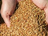 Продаю пшеницу