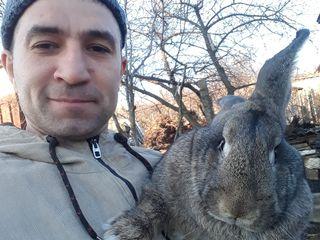 Vind iepuri uriasi german.