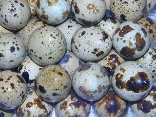 Vindem ouă de prepeliță