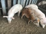 Продам свинок и хряков 4 месяца!30 кг
