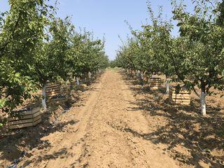Vindem prune uscate calitate superioara
