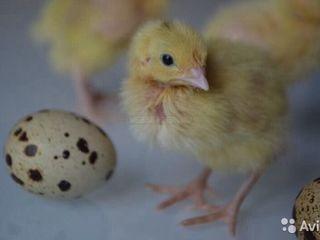 Птенцы перепелов, цыплята перепелов породы «Texas Gigant Broiler» от двух суток