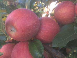 Vind copaci fructiferi cia mai mare pepeniera din moldova si cea mai buna calitate