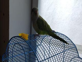 Попугай Калита Монах (Квакер)