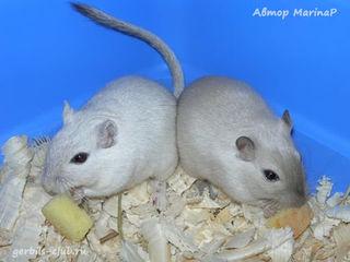 Куплю монгольских песчанок (мышек)