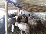 продам овцы вместе с ягнятами