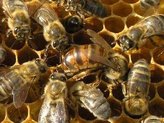 Продам сильные пчело-семьи, отводки!!! Карпатка. Также улья, фляги, медогонка, инвентарь