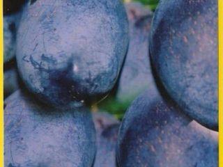 Pomi pentru livezi soiuri noi! De cea mai inalta calitate!