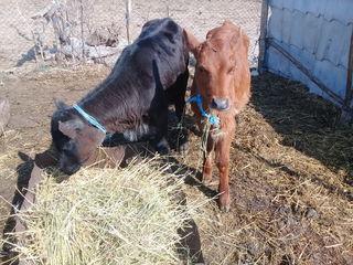 vitele la crestere