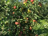 Продаётся яблоневый сад.
