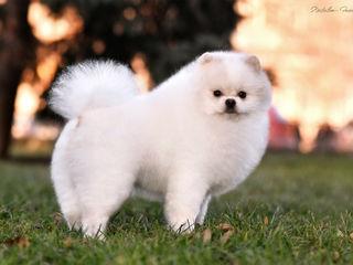 Померанский шпиц- Pomeranian