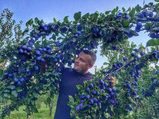 Pomi fructiferi  -prun Stenlei  ...