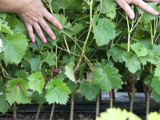 SRL ,,Vita Podgoreana ''  реализует виноградные саженцы.