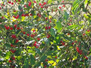 Саженцы годжи и ягоды Plante goji
