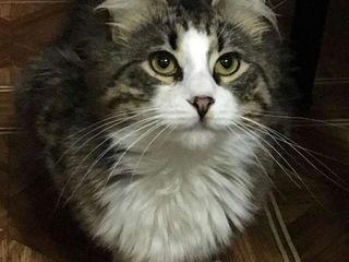 Сибирский котик очарует вас с первой минуты знакомства! кастрирован, привит! ботаника