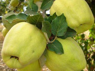 Pomi fructiferi -Gutui _ soiul Codreanca , Auriu