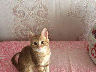 02.10.2017. Пропал рыжий котенок на Чеканах по ул. Садовяну возле конечной остановки 113 маршрутки.